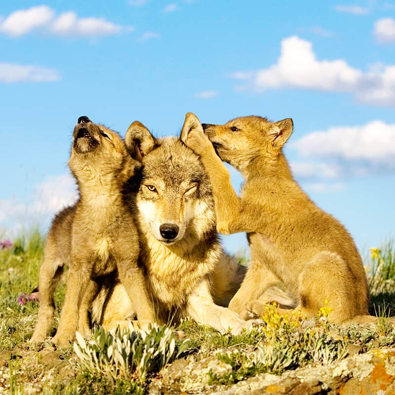 Wolf Jungtiere