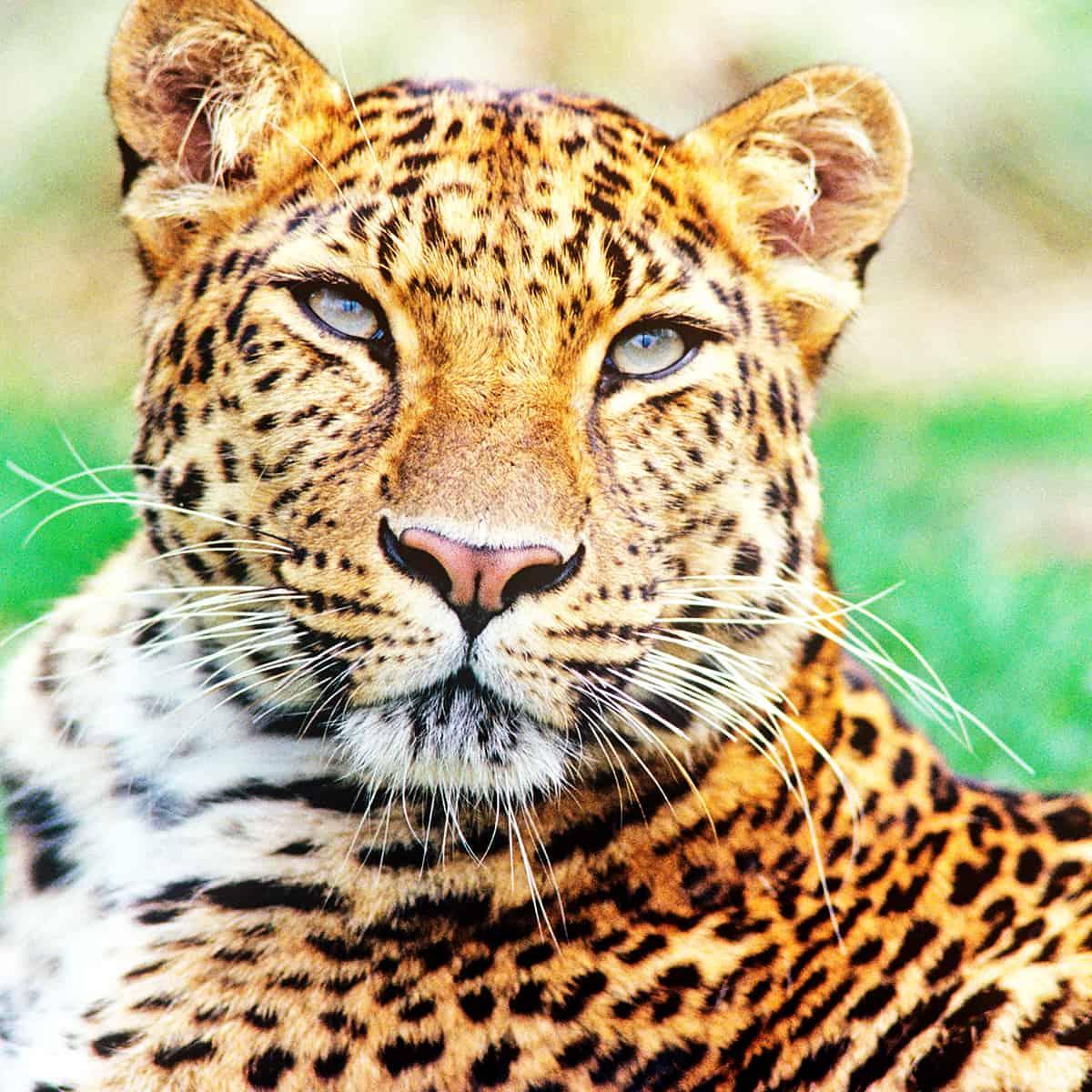 37final_wwf-at_Amur-Leopard_Nahaufnahme_