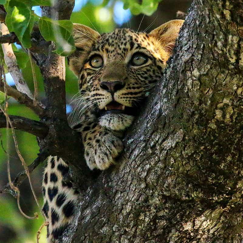 3final_wwf-at_Leopard_Baum_