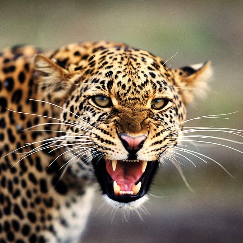 3final_wwf-at_Leopard_faucht_