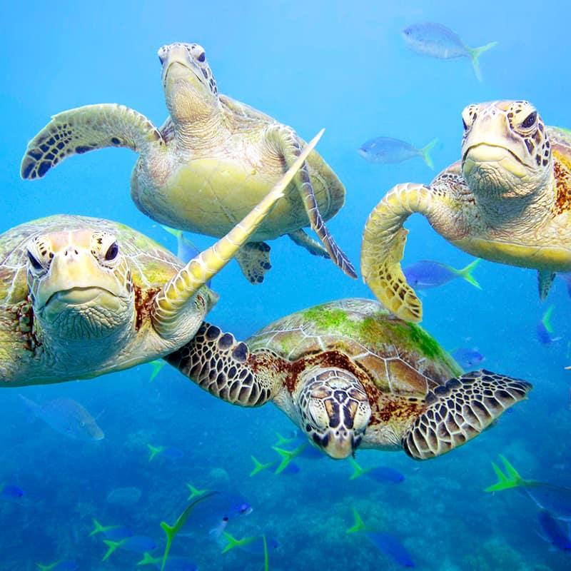 Meeresschildkröte Rudel