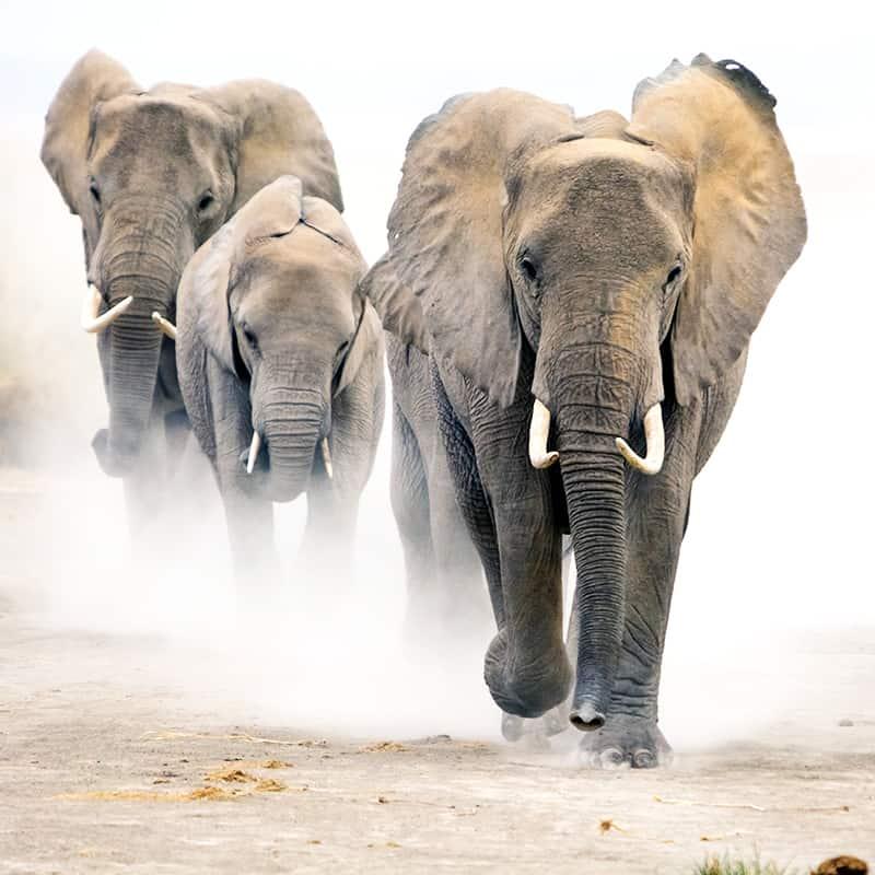 Afrikanischer Elefant Horde