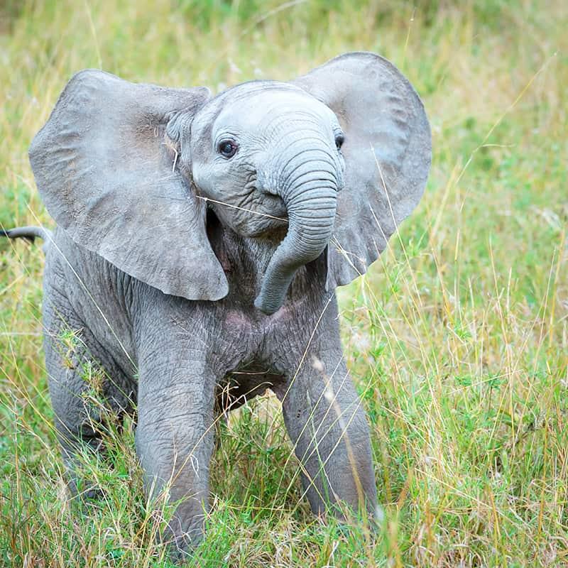 Afrikanischer Elefant Junges