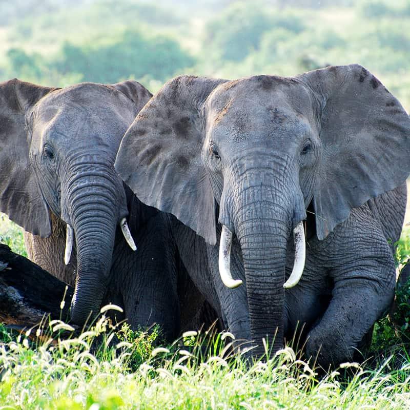Afrikanischer Elefant Kenya