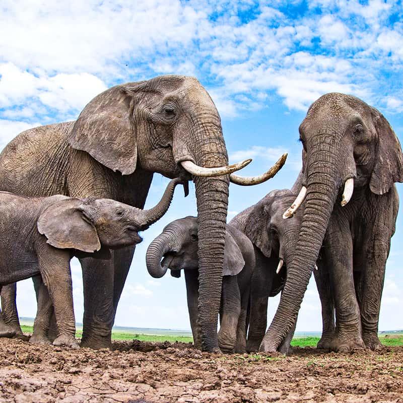 Afrikanischer Elefant Wasserloch
