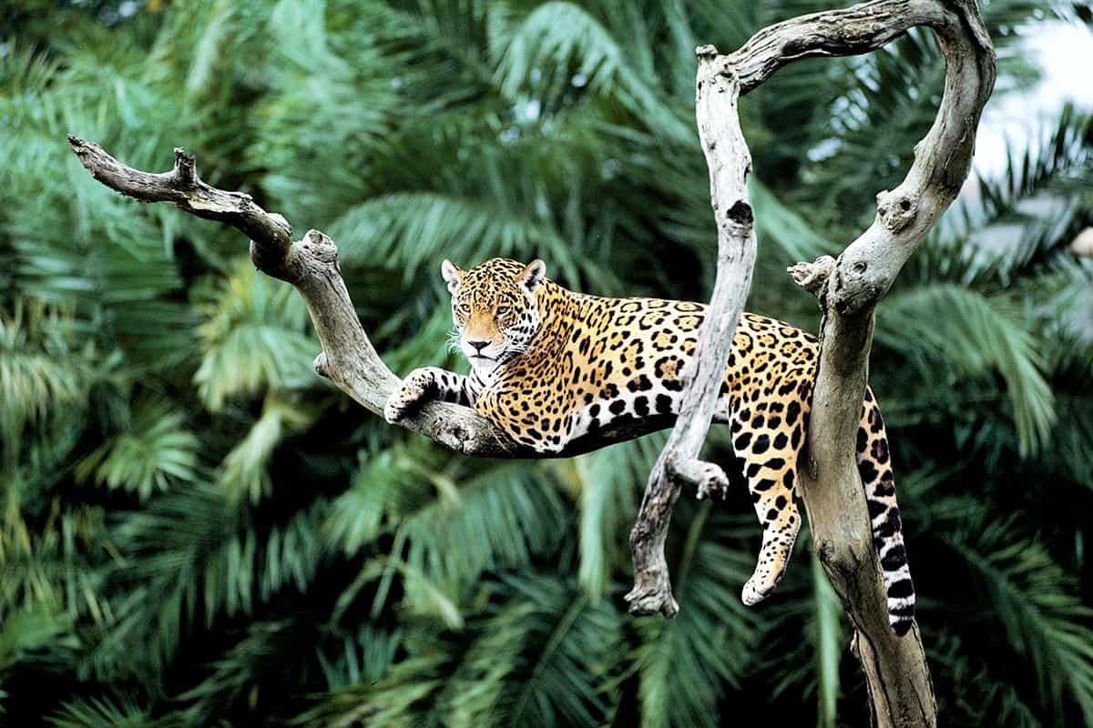 Jaguar in Baum