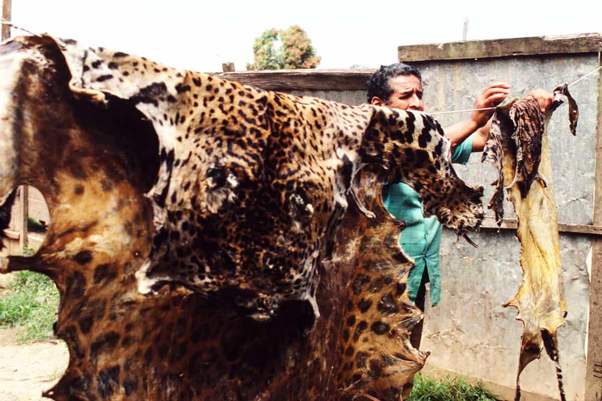 Jaguar Wilderei