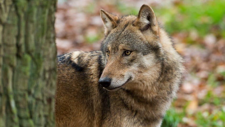 wolfspopulationen-wolf-im-halbprofil
