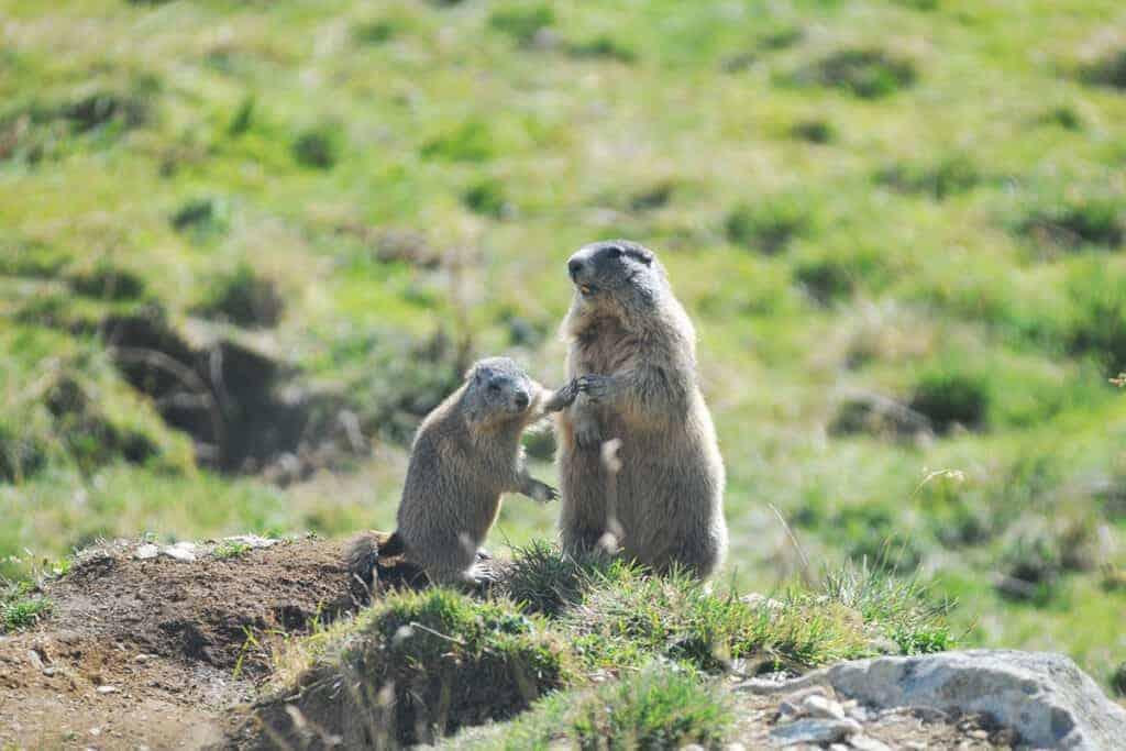 Zwei Murmeltiere im Kaunertal/ © WWF-Anton Vorauer