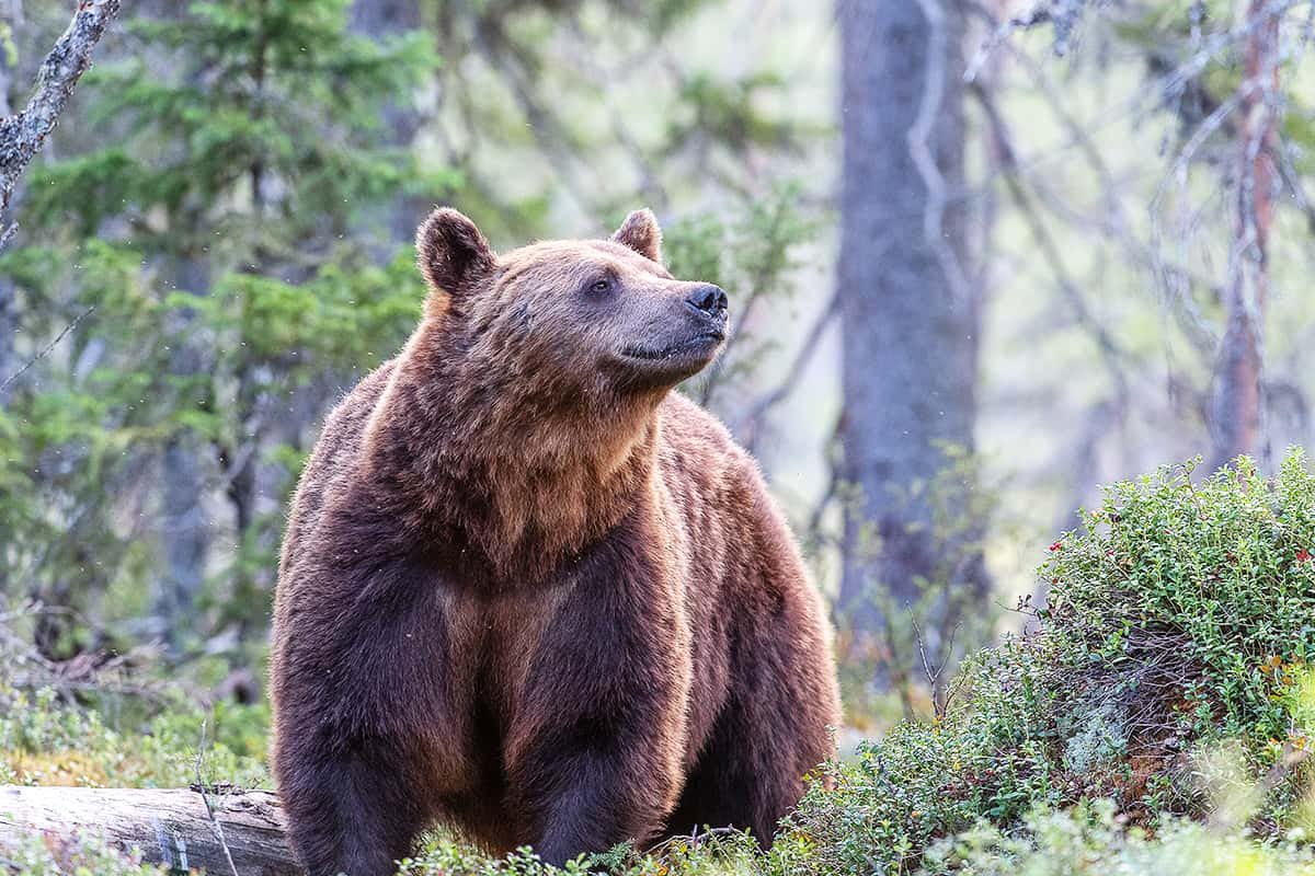 Braunbär in der Natur