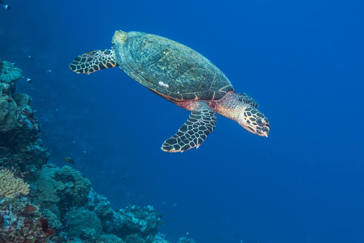 Eine vom Aussterben bedrohte Echte Karettschildkröte (Eretmochelys imbricata) bei einem Tauchgang