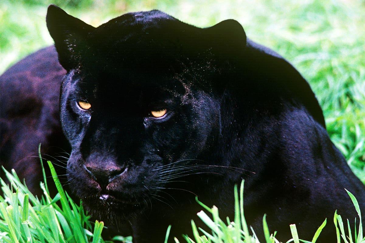 schwarzes Jaguar Junge lauernd im Gras