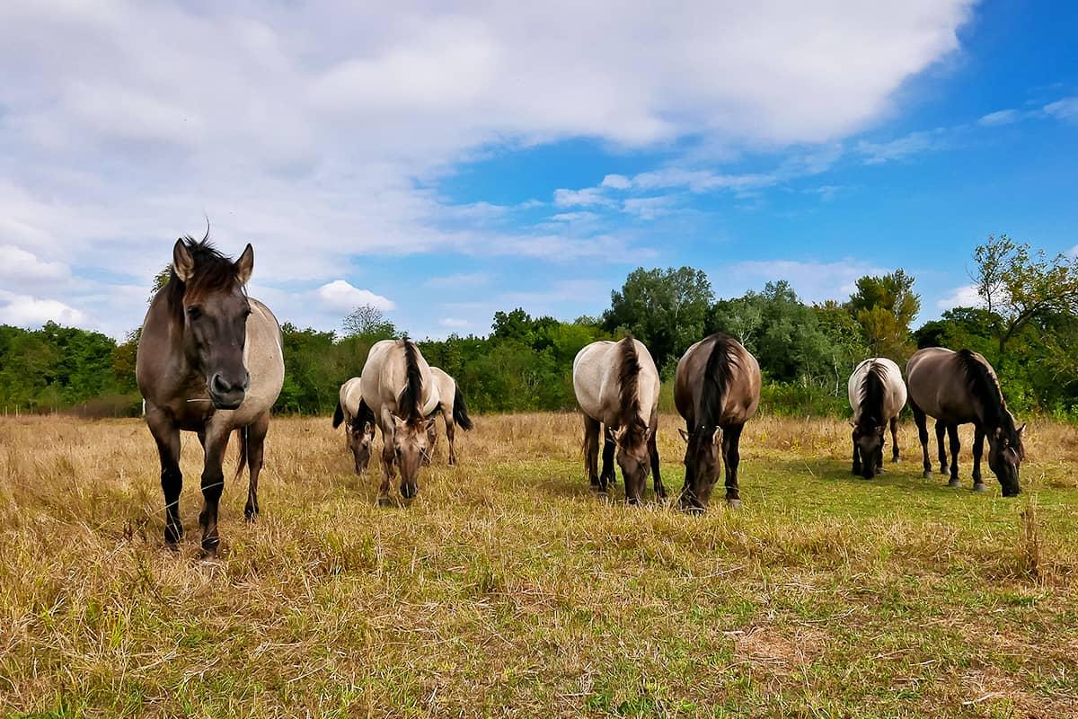 Pferdeweide March Thaya Auen