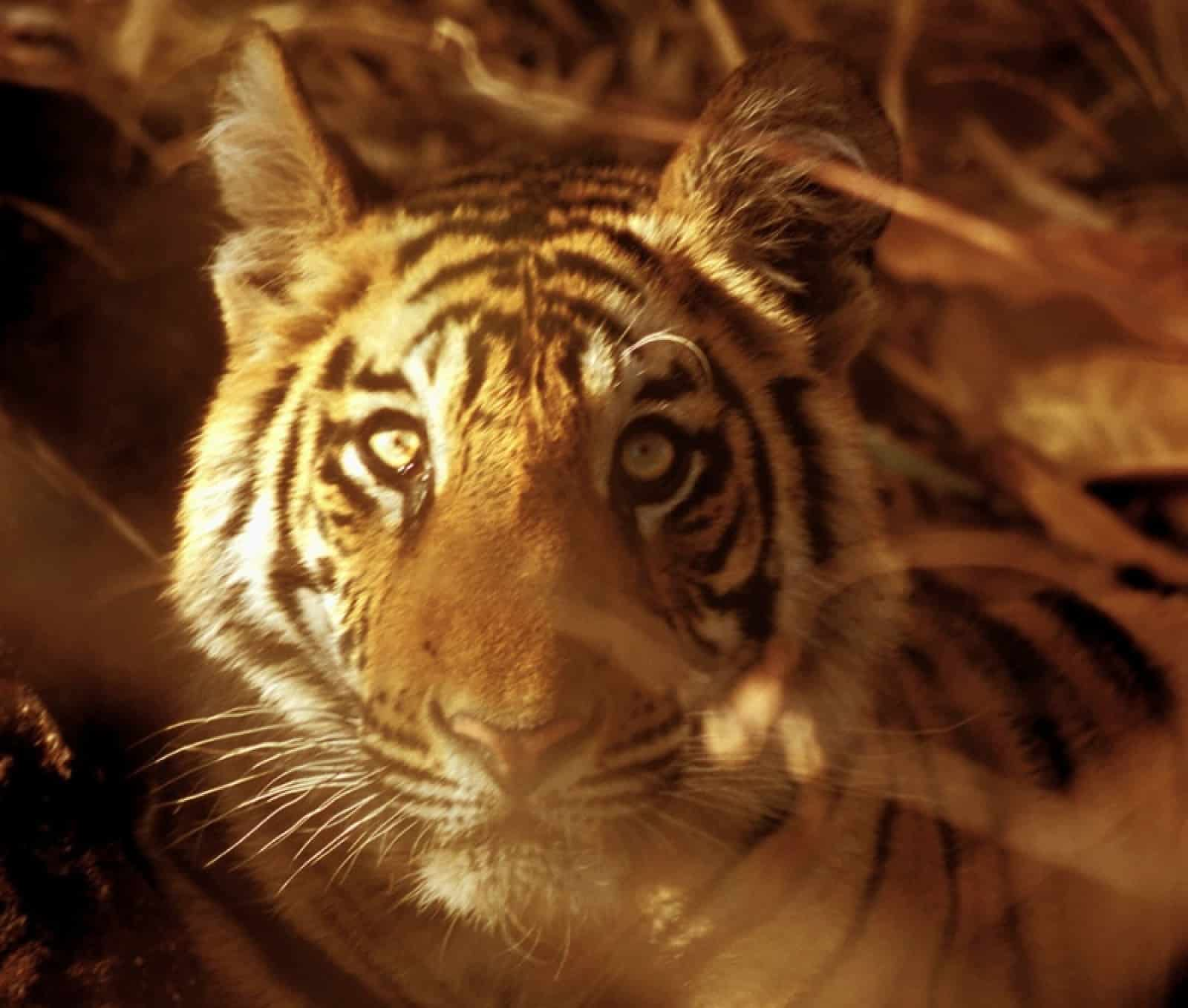 Indischer Tiger - Panthera tigris tigris