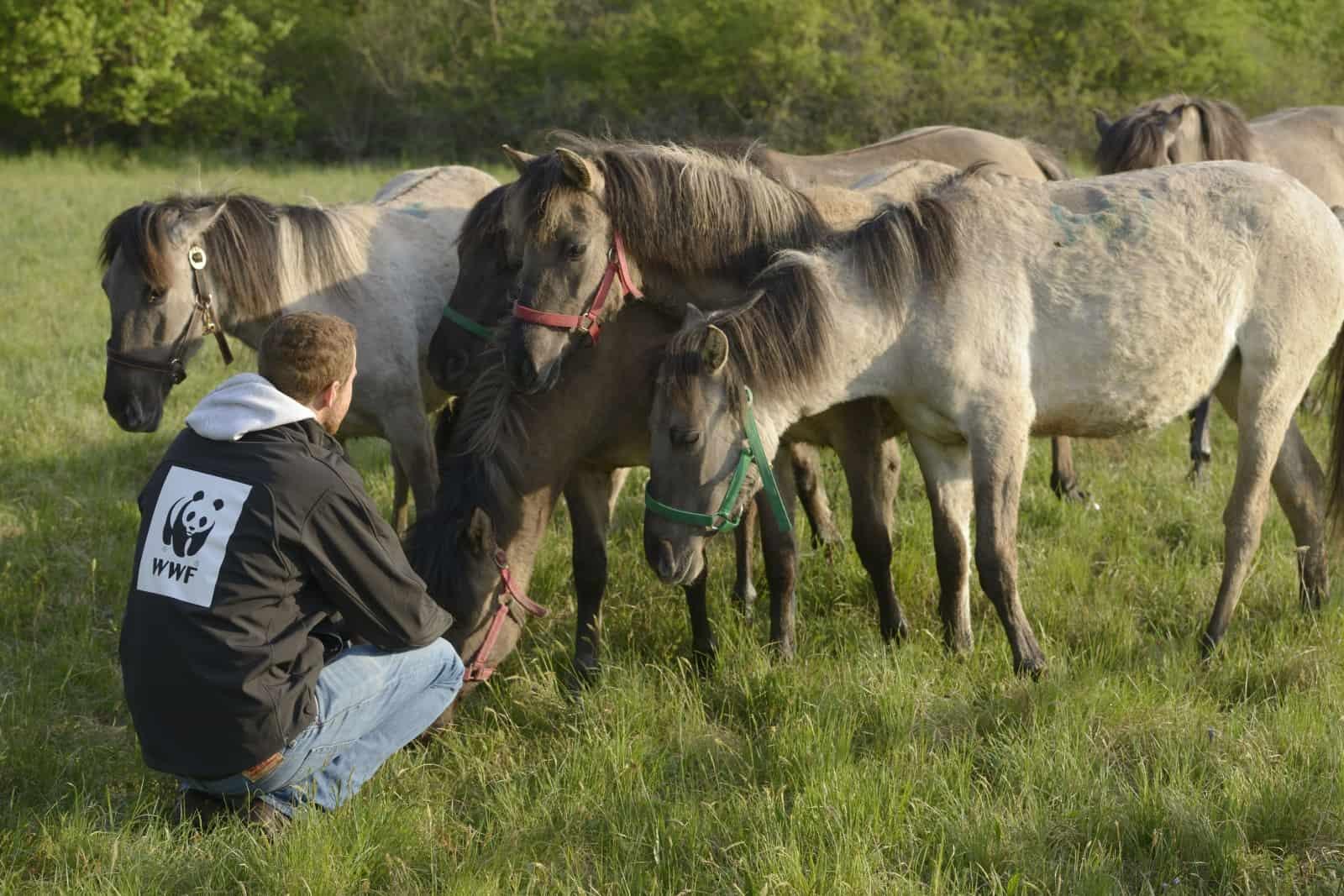 Konik-Pferde und ihr Betreuer