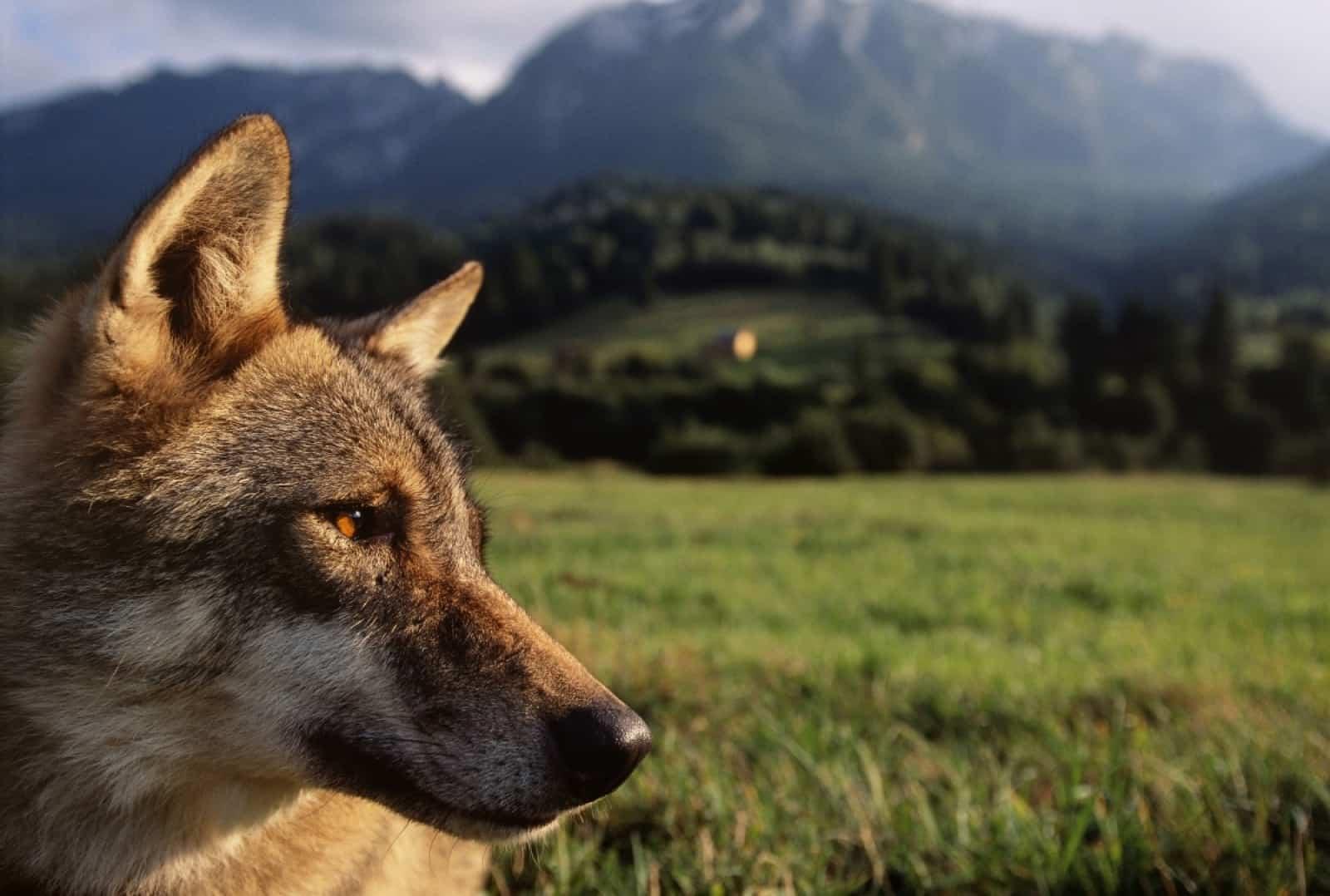 europaeischer-wolf-auf-einer-wiese-vor-einem-berg