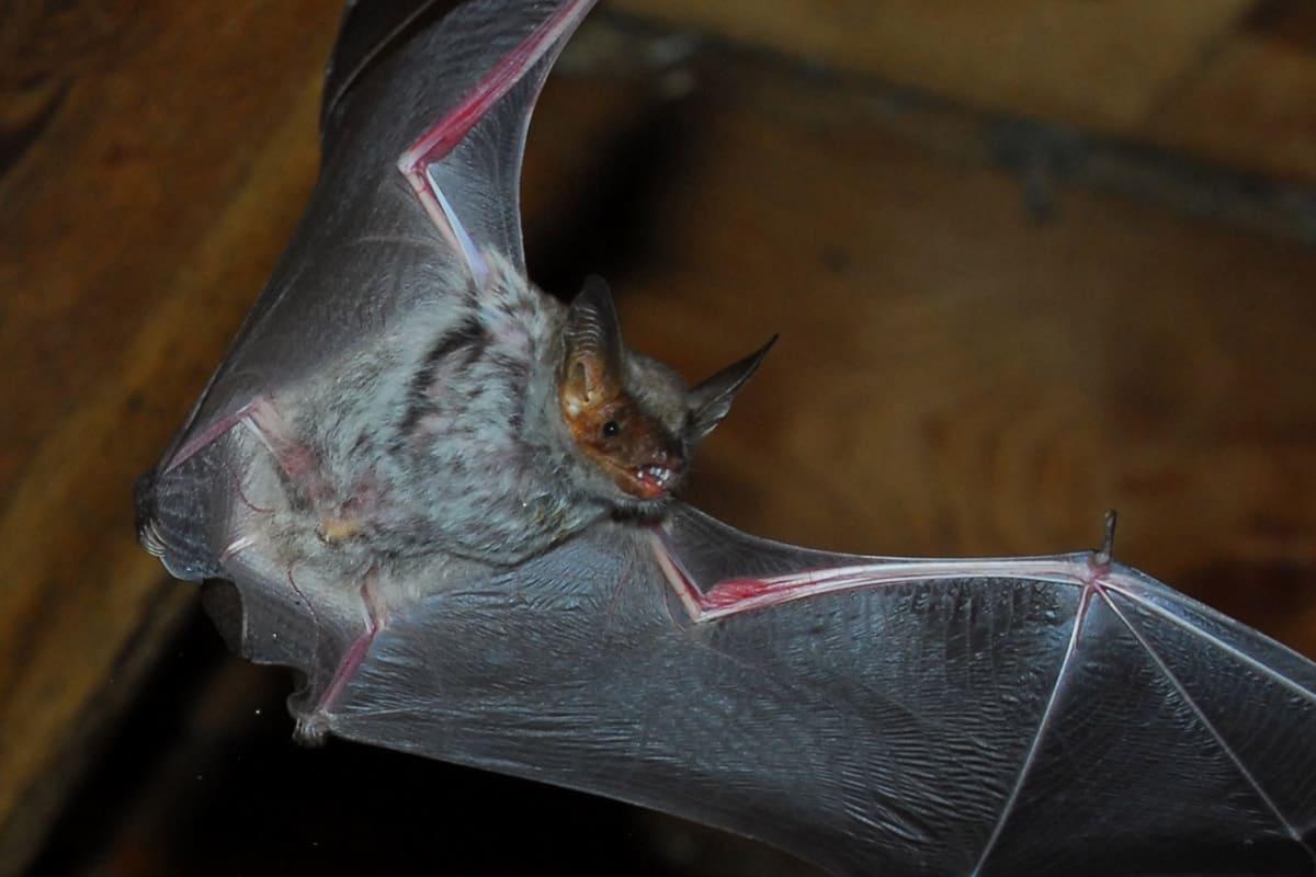 Das Große Mausohr ist Österreichs größte Fledermaus © A.Vorauer / WWF