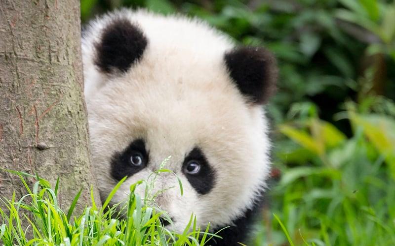 Großer Panda versteckt hinter einem Baum