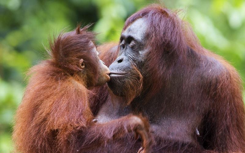 Orang-Utan-Mutter und Baby küssen sich