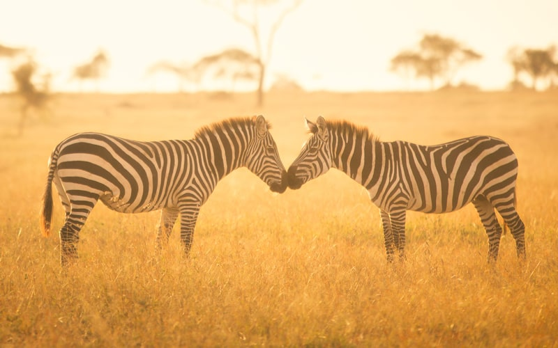 Zwei Zebras Nüster an Nüster