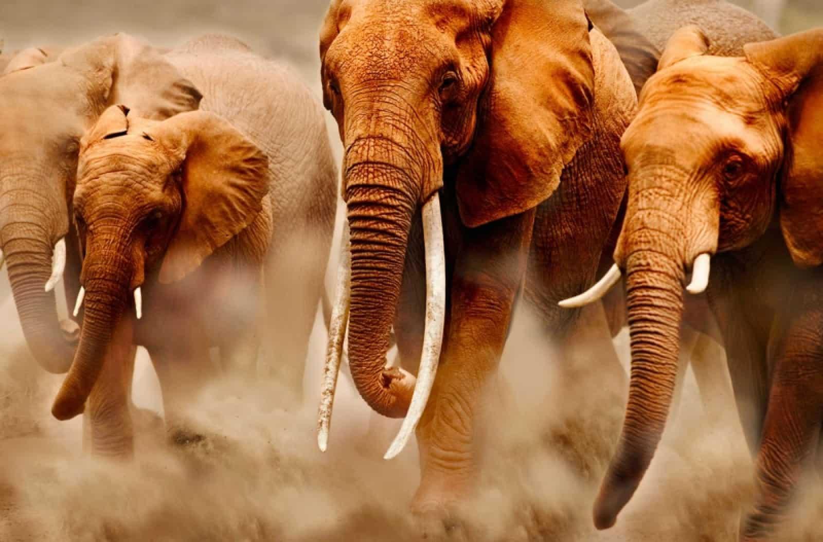 Eine Herde Afrikanischer Elefanten