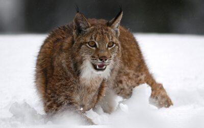 Luchse in der Winterzeit: Feuertaufe für die Jungtiere