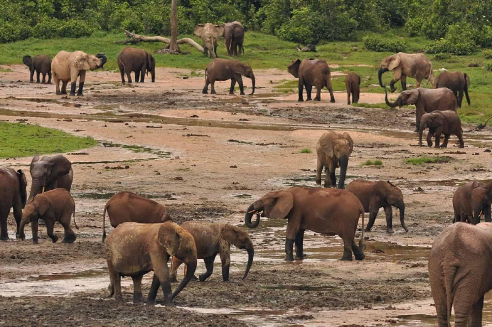 Waldelefanten im Dzanga Sangha - Schutzgebiet in Afrika