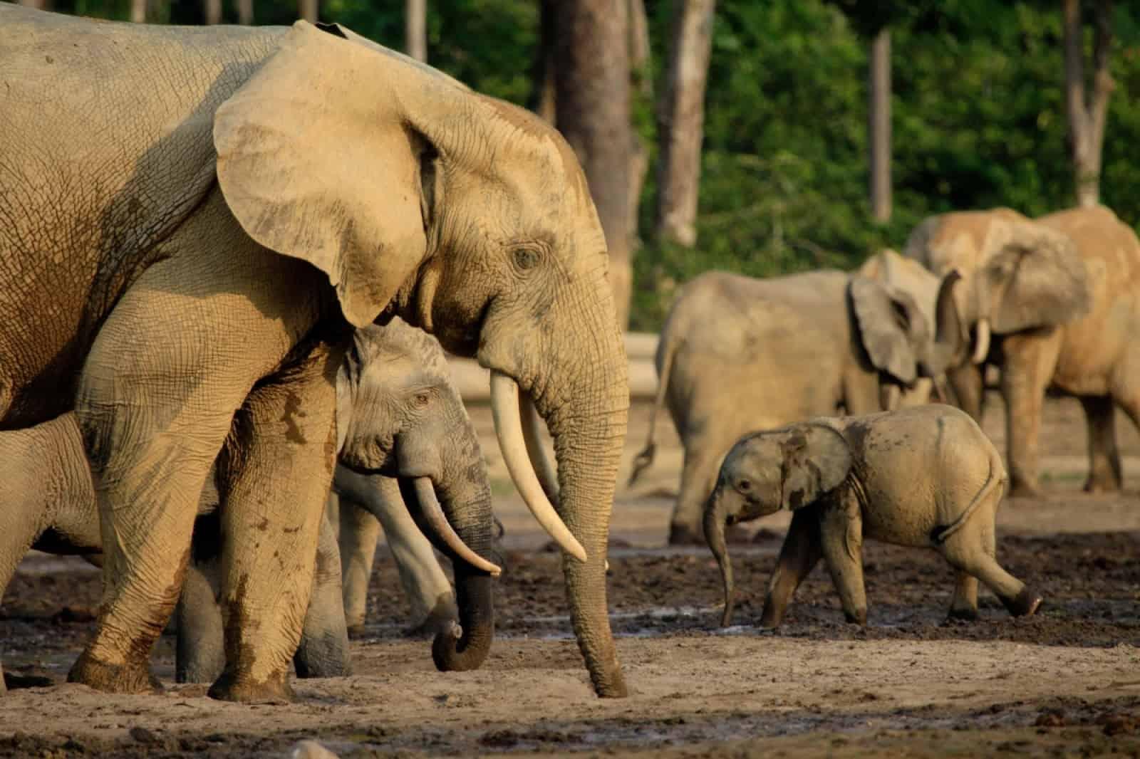 Waldelefanten in Dzanga Bai
