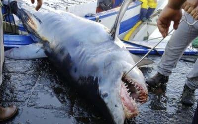 WWF: Schockbilder decken illegale Jagd auf Haie und Rochen im Mittelmeer auf