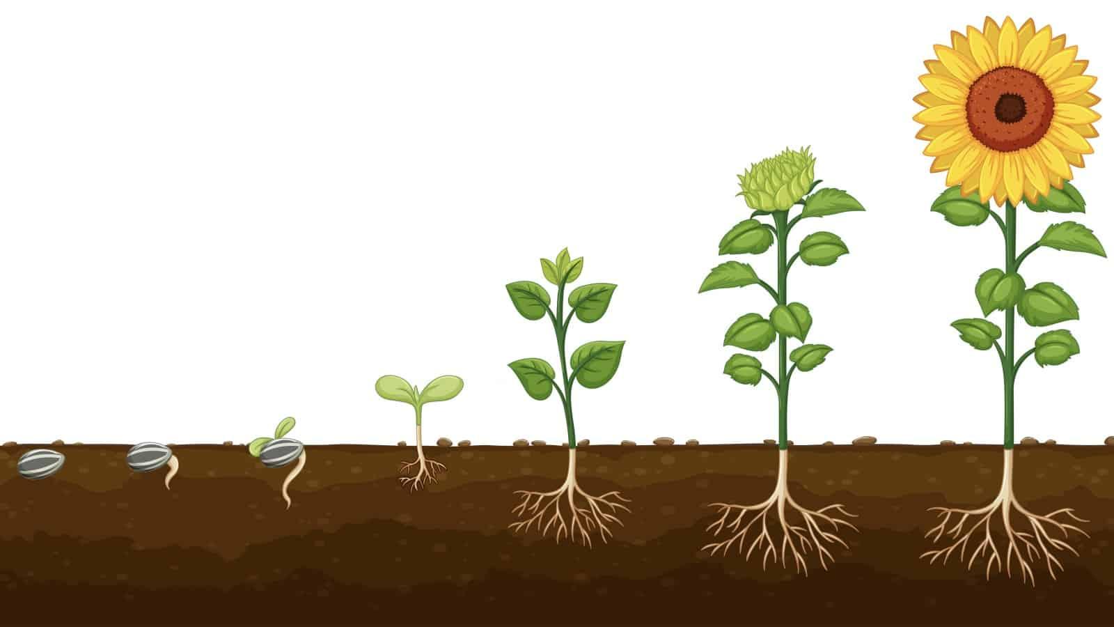 Fruchtbarer Boden: Aus dem Samen sprießt die Pflanze