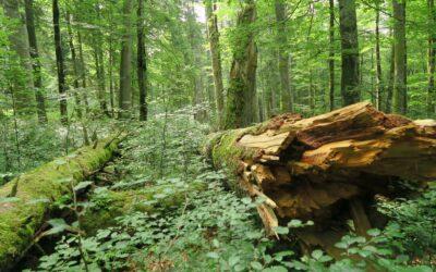 WWF und BirdLife: Neuer Waldfonds muss Naturwälder und Artenvielfalt unterstützen