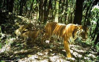 Verschollene Tigerin nach sechs Jahren entdeckt