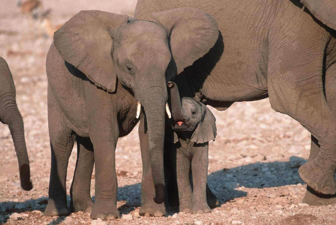 Die Jungen werden gut beschützt! Afrikanische Elefanten im Etosha-Nationalpark in Namibia