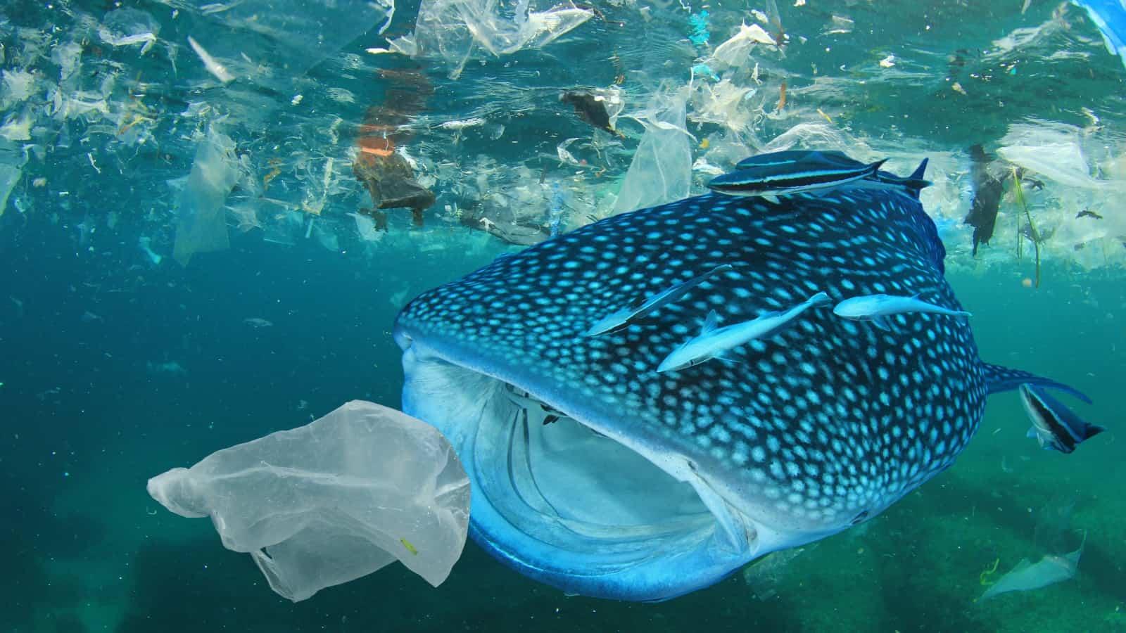 Dieser Walhai verwechselt ein Plastiksackerl mit Nahrung und frisst es
