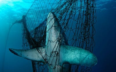 Gejagte Jäger: Die Haie des Mittelmeers