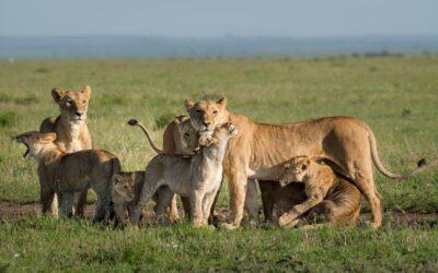 Die 10 größten Geheimnisse von Löwen