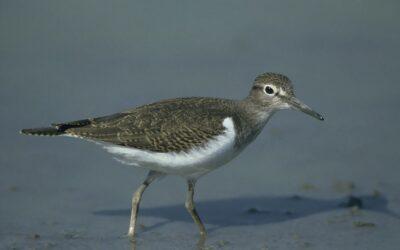 Flussuferläufer kehren an den Inn zurück – WWF und BirdLife bitten um Achtsamkeit