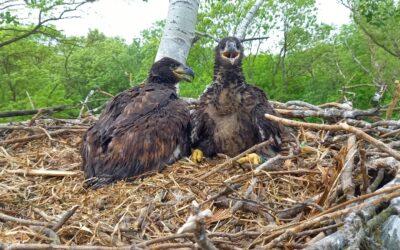 WWF: Sechs Seeadler besendert – Population im Aufwind