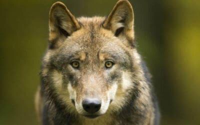 WWF kritisiert Köstingers Rufe nach Wolfsabschuss – Almwirtschaft braucht volle Unterstützung im Herdenschutz