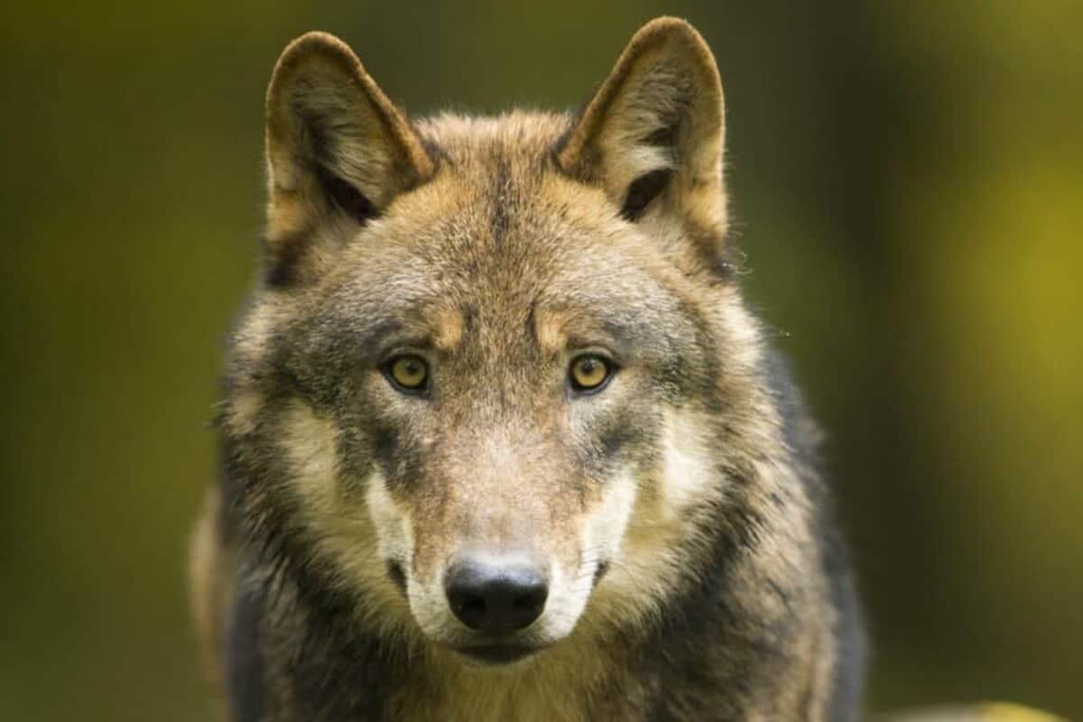 Wolf-schuetzen-mit-dem-WWF-Wolf