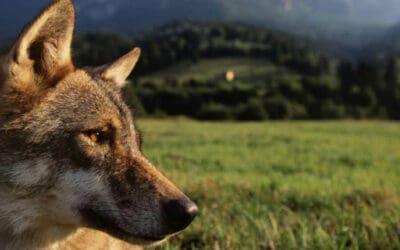 Salzburg: WWF fordert Herdenschutz-Offensive statt Wolfsabschuss