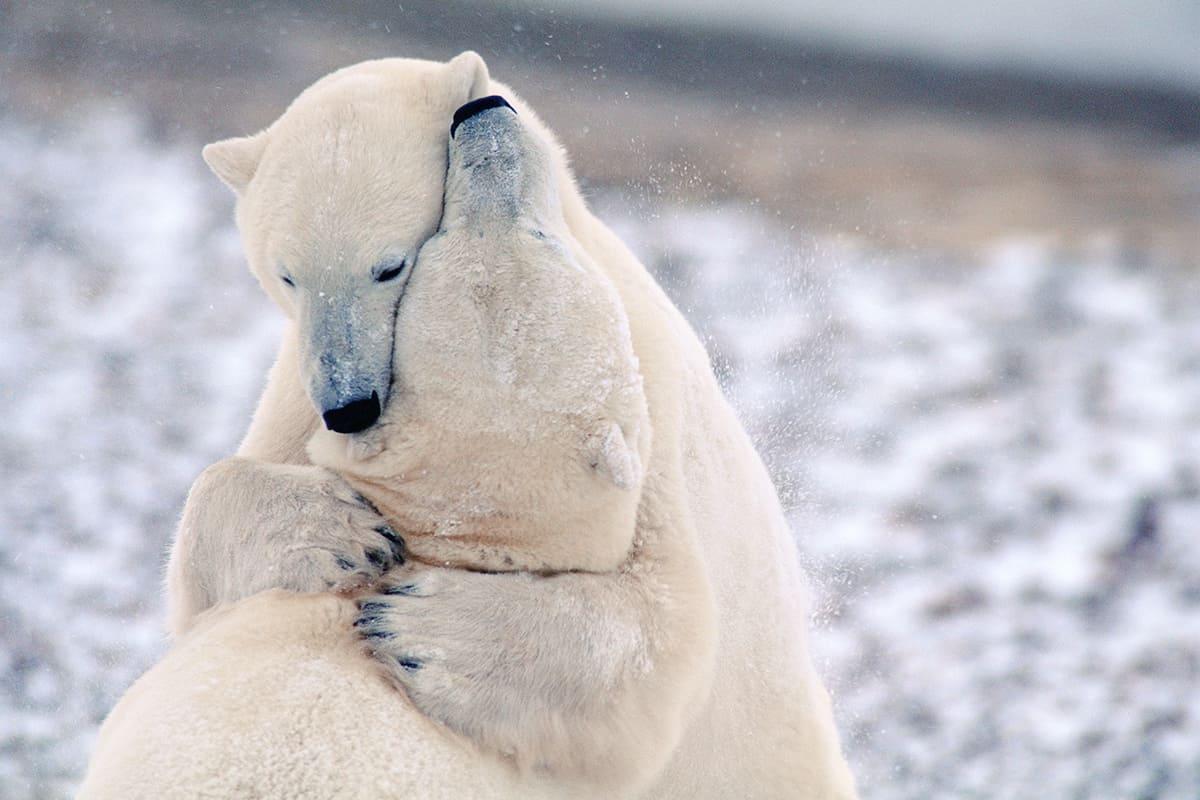 WWF-Oesterreich-Eisbaeren