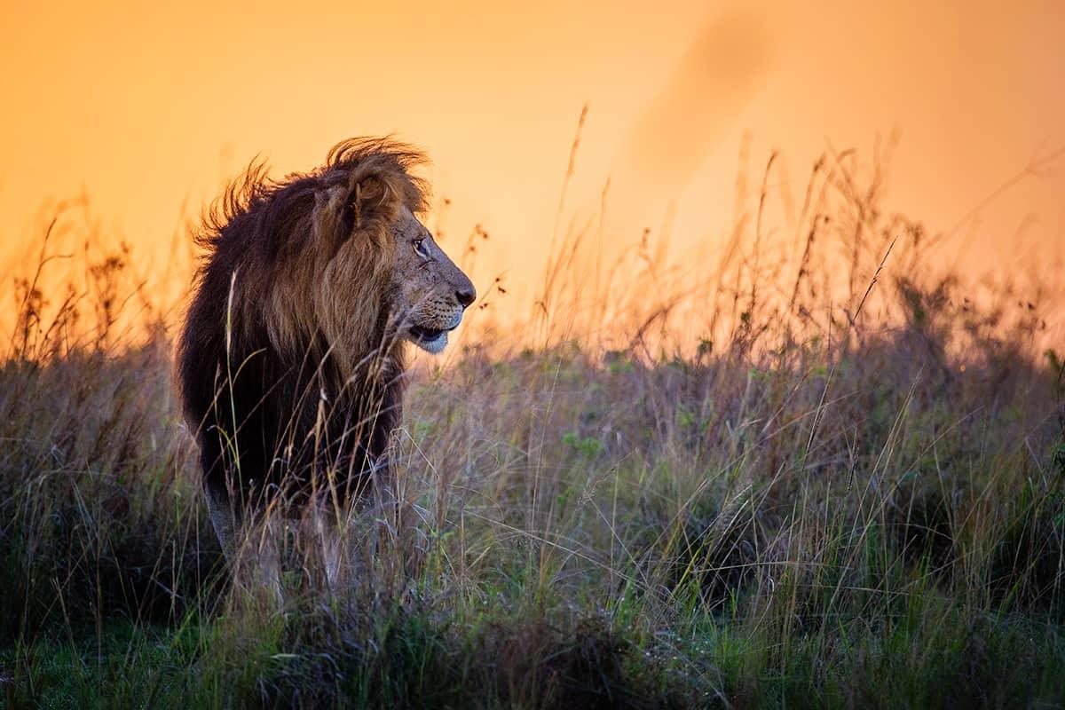 WWF-Oesterreich-bedrohte-Tierarten-Ein-Loewe-bei-Abendstimmung