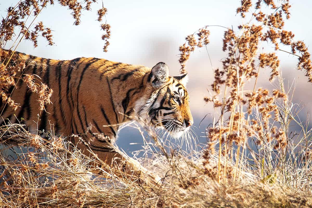 WWF-Oesterreich-Ein-Tiger-im-Gebuesch