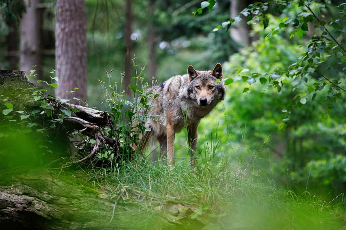 Ein Wolf mitten im Wald