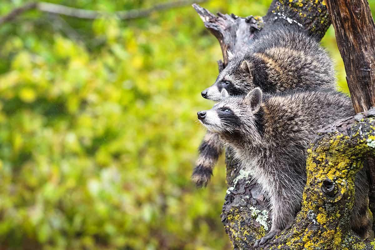 Waschbären im Baum, wie sie in die Ferne blicken