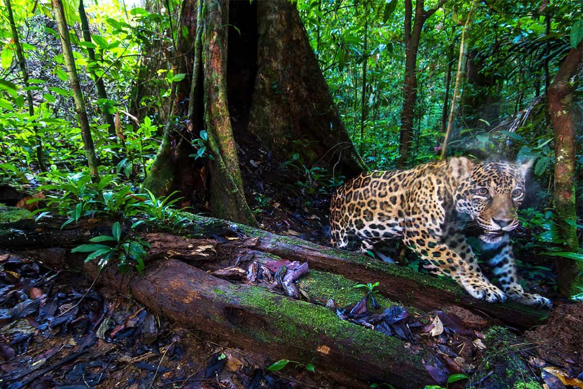 Jaguar im Wald, eingefangen von einer Kamerafalle
