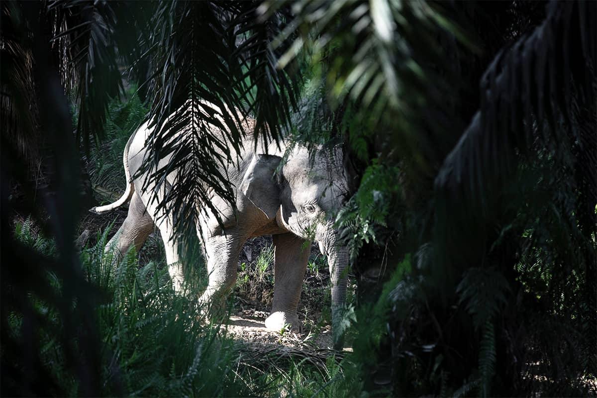 Asiatischer Elefant wandernd
