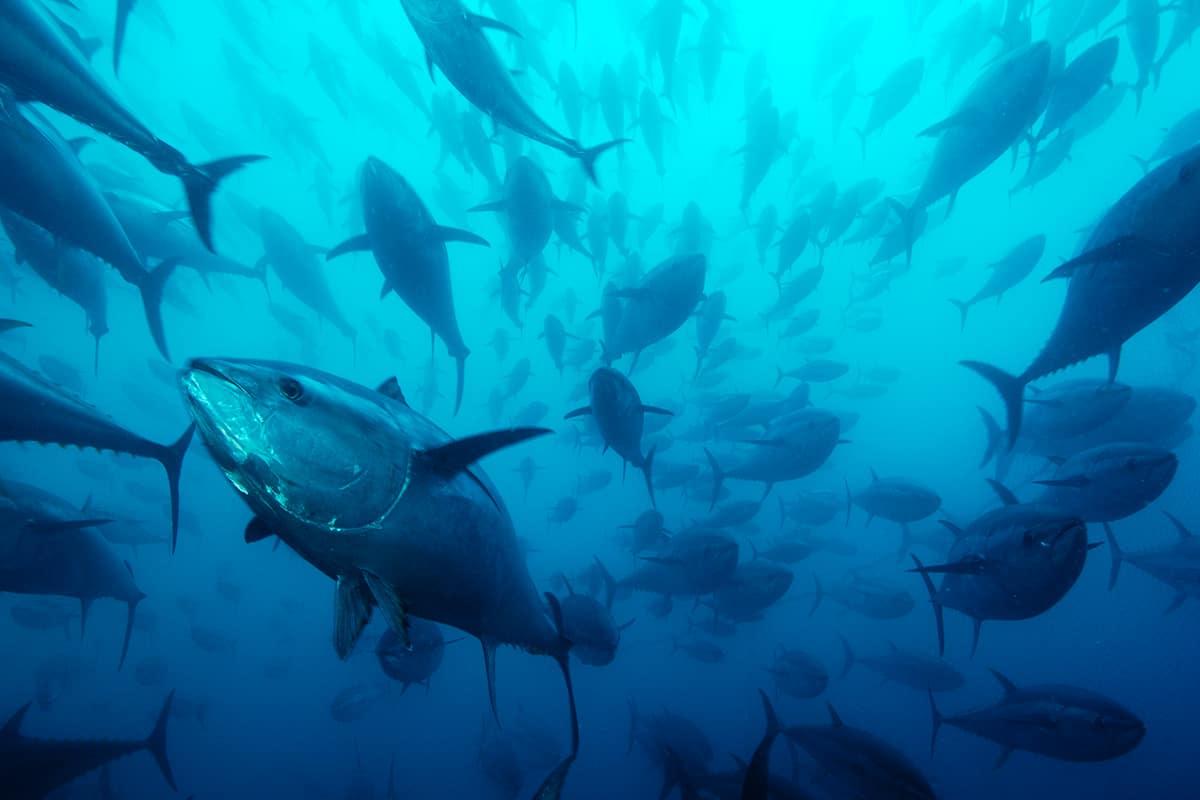 Hofer - ein Schwarm Thunfische