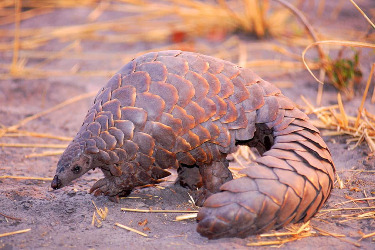 Pangolin in Steppe